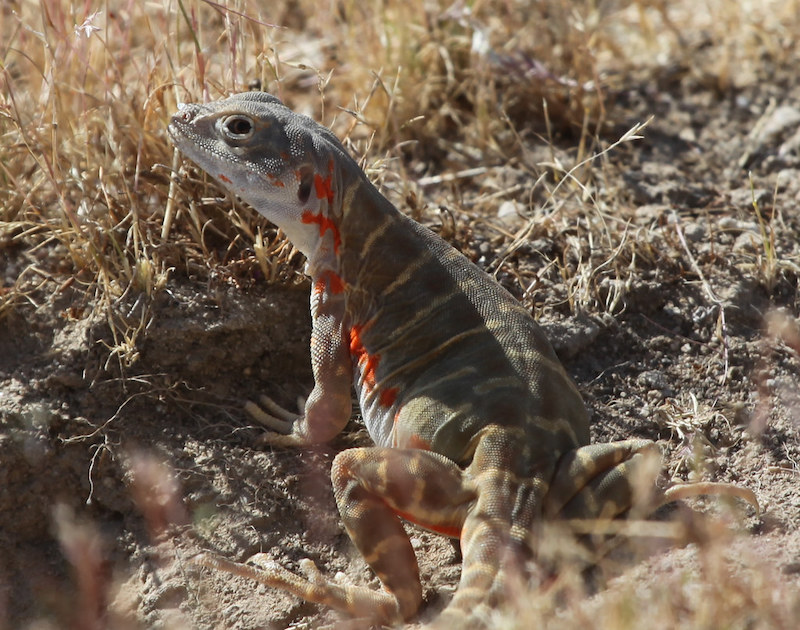 A female blunt-nosed leopard lizard with reproductive colors showing. Blunt-nosed leopard lizards are also an endemic and extremely endangered Valley species.