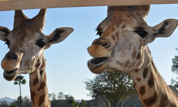 Friendly giraffes from the jeep caravan safari