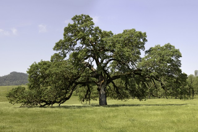 Quercus lobata.  Photo from http://www.wildlifeheritage.org/gallery/valley-oak/